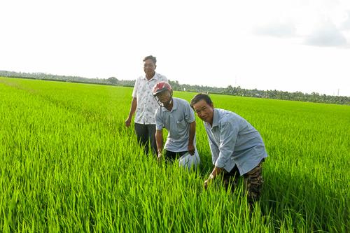 Vào tổ hợp tác, sản xuất lúa, nông dân lợi thấy rõ