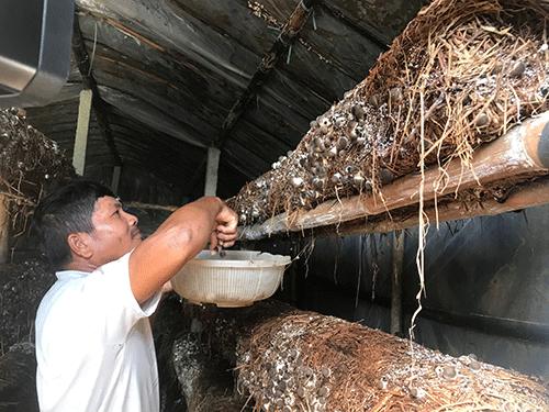 Đà Nẵng: Trồng nấm rơm trong nhà không khó, bán 100 ngàn/ký