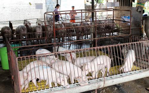 Đồng Nai: Hết dịch tả lợn nhưng... hết tiền tái đàn