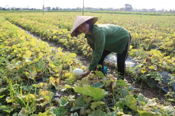Hải Phòng: Bội thu cà chua và dưa lê, thương lái canh giờ mua hết sạch