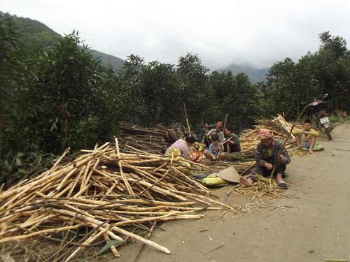 Lào Cai: Nông dân Bắc Hà thu gần 300 tỷ đồng từ sản phẩm quế