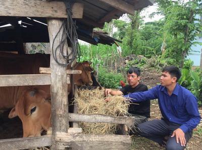 Làm giàu từ chăn nuôi bò theo hướng hàng hóa