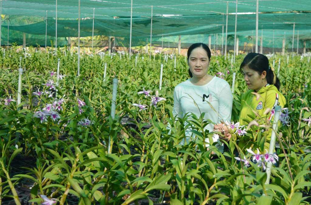 Thanh Hóa: Trồng hoa công nghệ cao bán Tết, bông to đẹp mê li, bán được giá cao