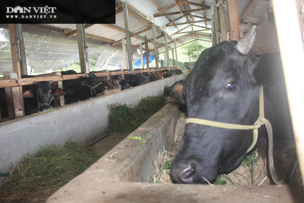 Sơn La: Biến bò gầy giơ xương thành bò béo mập, một ông nông dân kiếm hơn nửa tỷ mỗi năm dễ như ăn kẹo