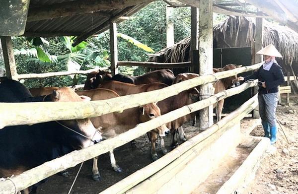 Gần 500 con trâu bò, gia cầm bị chết rét, tỉnh Quảng Bình chỉ đạo nóng điều này