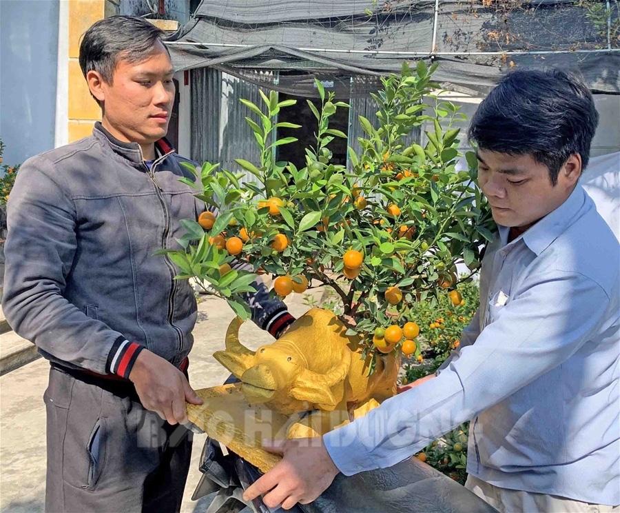 Hải Dương: Một ông nông dân trồng quất bonsai trên lưng trâu vàng, trâu đen, 1 tuần bán hết veo 100 con