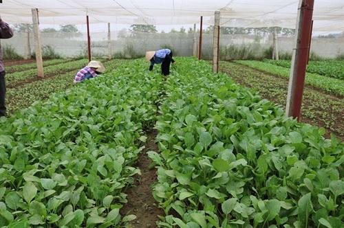 Hiệu quả từ sản xuất rau an toàn theo VietGAP