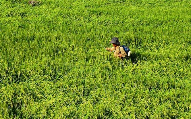 Rầy tấn công nhiều diện tích lúa Bình Định