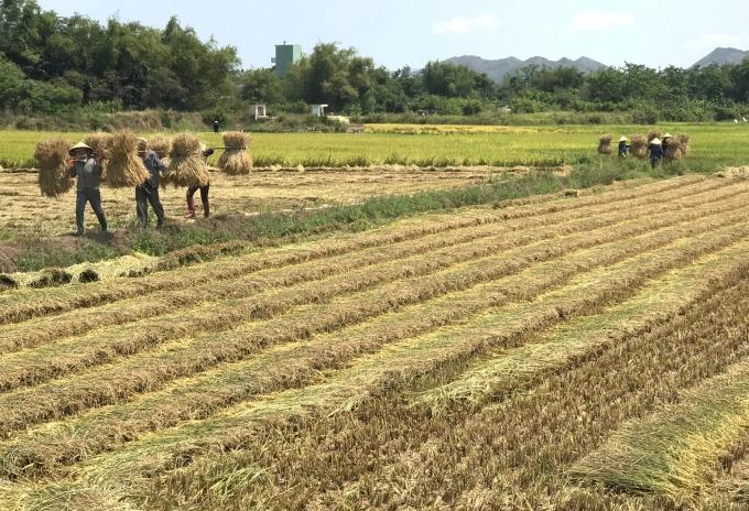 Giải pháp nào chuyển đổi cây trồng trên đất lúa?