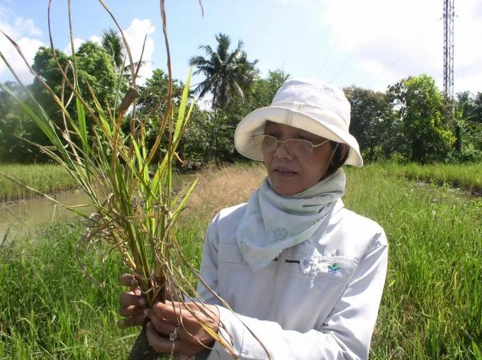 Dự báo dịch bệnh cây trồng vụ ĐX miền Trung - Tây Nguyên
