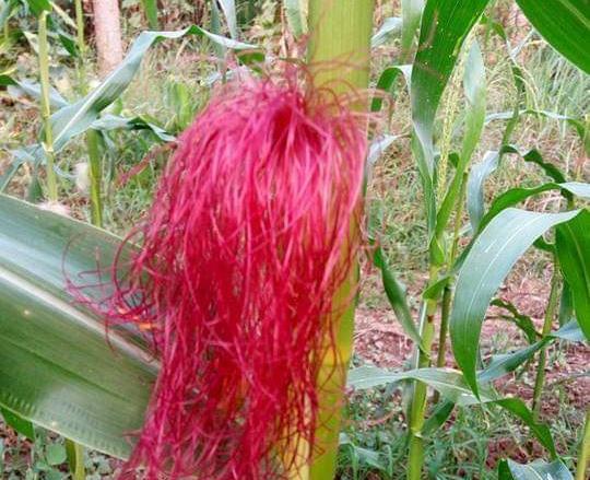 Đồng Tháp: Nông dân Lai Vung trồng bắp ngũ sắc chưng Tết