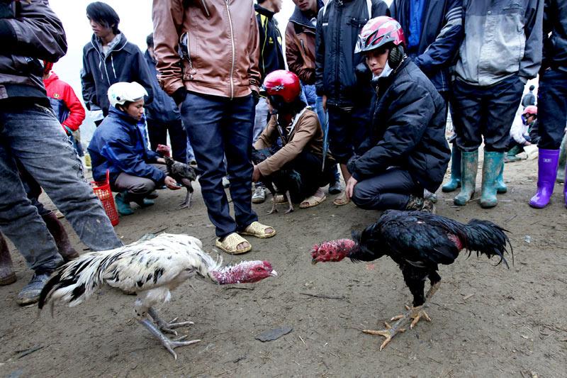 Sới gà chọi đặc biệt ở chợ phiên Bắc Hà