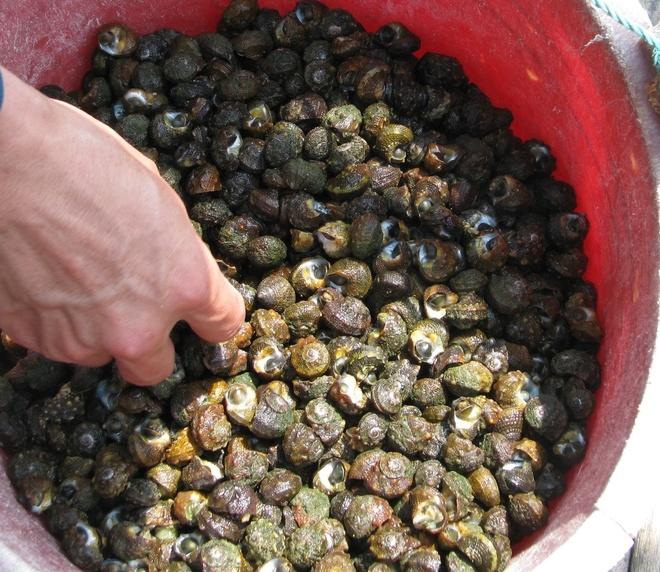 Săn ốc biển ở Quảng Ninh